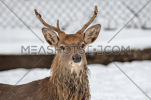Close up photo of male Vietnamese sika deer (Cervus nippon pseudaxis)