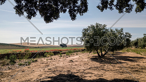 Field of Olive trees near Jaen, Spain