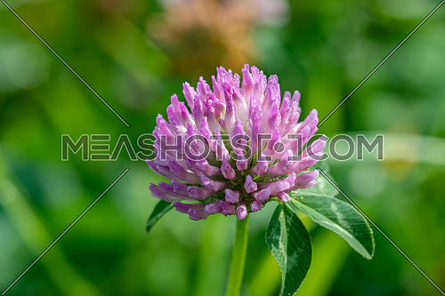Red clover flower (Trifolium pratense )  in green blurred background. Close up pink clover flower on summer green meadow.