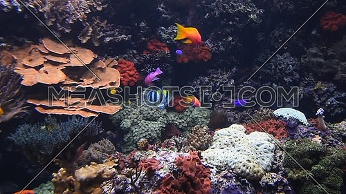 Underwater panorama, vivid colorful multicolor small and big tropical see fishes in aquarium with corals, algae weed and grass, close up, low angle vi