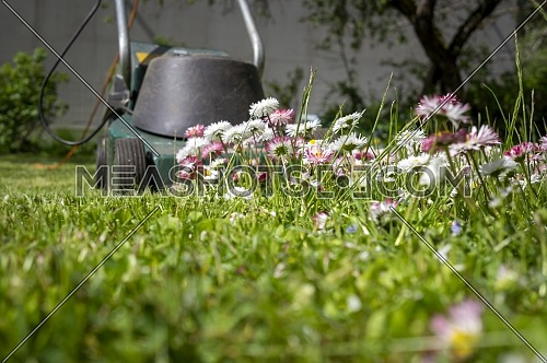 Dainty white and pink spring flowers in a green garden lawn with electric lawn mower at the end of the cluster in a low angle ground level view in a seasons and yard maintenance concept