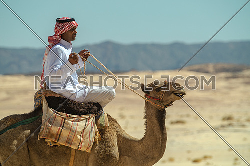 Two bediuon males riding a camels at Ain Hoduda area in Sinai at day.