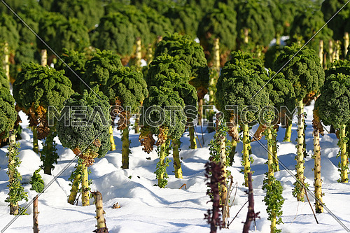 Field of broccoli in snow in the winter