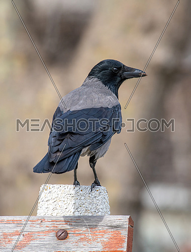 Close up portrait of Hooded crow (Corvus  cornix)