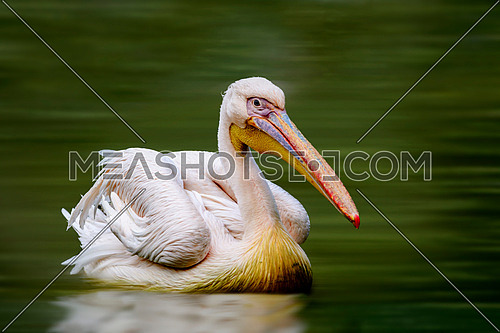 A Pelican in calm waters