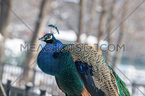 Indian peafowl Pavo cristatus .The bird is celebrated in Hindu and Greek mythology and is the national bird of India.
