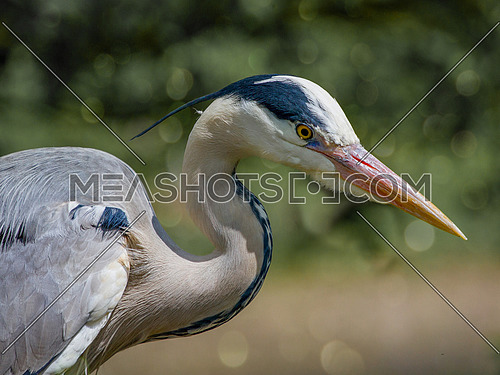 Gray heron (Ardea cinerea) .Wildlife in natural habitat
