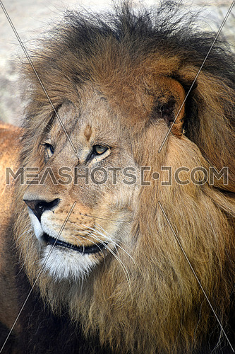 Close up side profile portrait of mature male African lion with beautiful mane, looking away