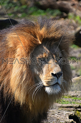 Close up portrait of cute male African lion with beautiful mane, looking away aside of camera, low angle view
