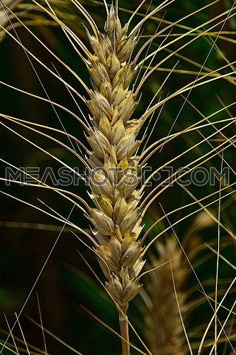 One ripe mature wheat ear head close up with green field background
