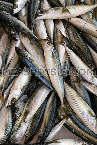 Fresh mackerel fish (Scomber scrombrus) on ice at seafood market.healthy life concept, diet.