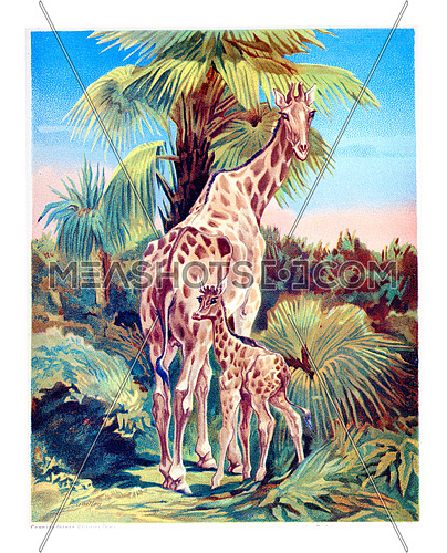 Giraffe with her cub, vintage engraved illustration.