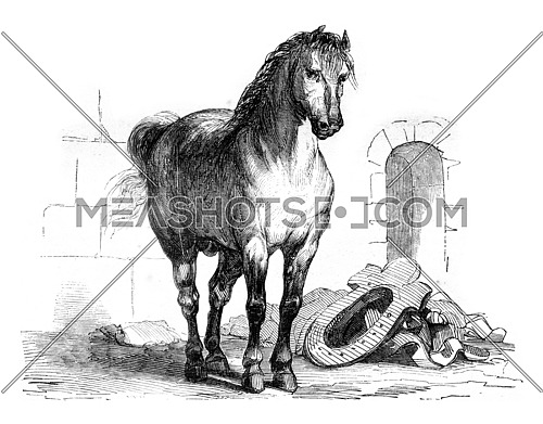 A workhorse, vintage engraved illustration. Magasin Pittoresque 1845.