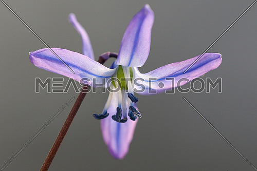 Little blue flower isolated against a light gray background