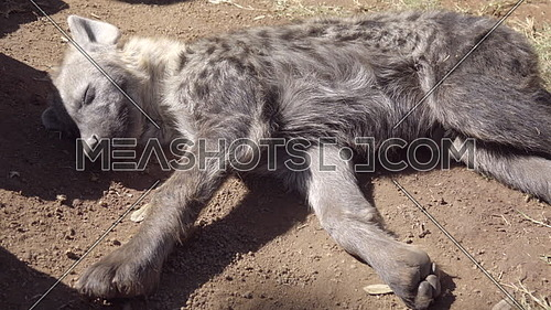 Scene of a sleeping hyena