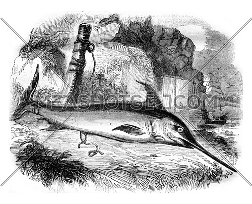 The emperor fish or swordfish, vintage engraved illustration. Magasin Pittoresque 1836.