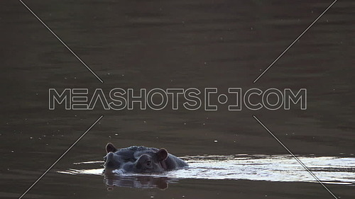View of a low framed hippo watching photographer