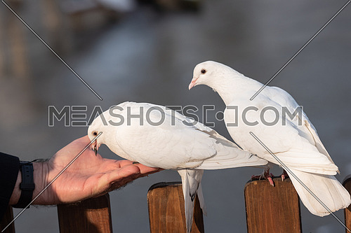 White Pigeon eats from a man hand. The concept of friendship and help.