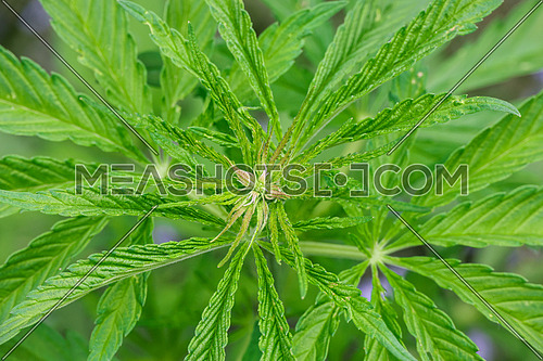 Close up many fresh green cannabis or hemp leaves growing, high angle view