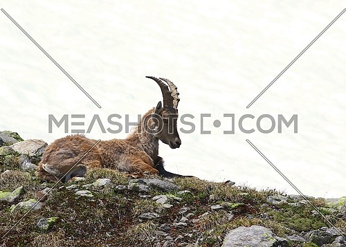 Ibex goat resting on a rocky and grassy patch in the mountains against white snow background