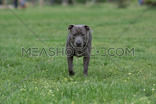 Pitbull terrier running on the grass. Selective focus on the dog