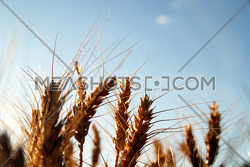 wheat and blue sky   (NIKON D80; 6.7.2007; 1/100 at f/7.1; ISO 100; white balance: Auto; focal length: 50 mm)