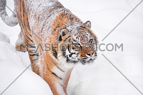 Close up portrait of one young Amur (Siberian) tiger in fresh white snow sunny winter day, looking up at camera, high angle side view