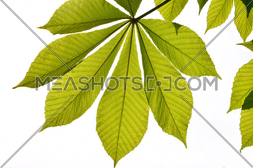 Translucent horse chestnut textured green leaves in back lighting on white sky background with sun shine flare (full leaf)
