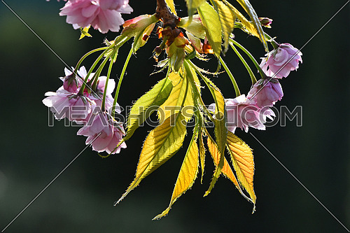 Branch of fresh pink cherry blossom flowers with new buds and young leaves in back light over background of dark green