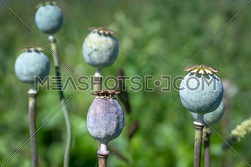 Close up on the seed heads or seed pods of poppies growing outdoors in a field