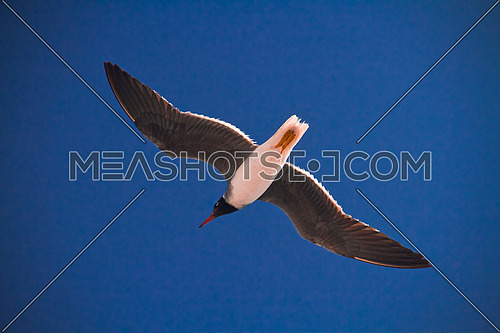 Seagull flying over the red sea in Egypt