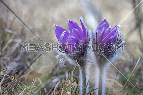 Wild Spring Pulsatilla patens, Easter pasqueflower, prairie crocus, and cutleaf anemone in spring forest