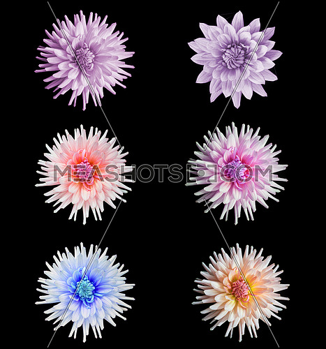 floral set of beautiful dahlia flower  isolated on black background with rain drops in garden