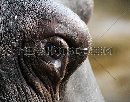 Hippo eye - close up