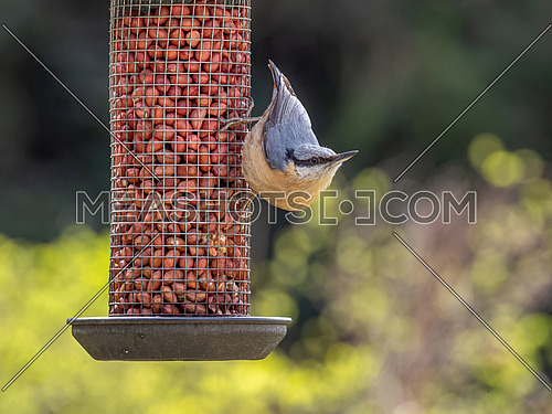 Close up picture of Eurasian nuthatch (Sitta europaea) sitting on bird feeder