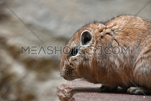 Close up side profile portrait of Gundi comb rat, African rodent, standing on stone, low angle view