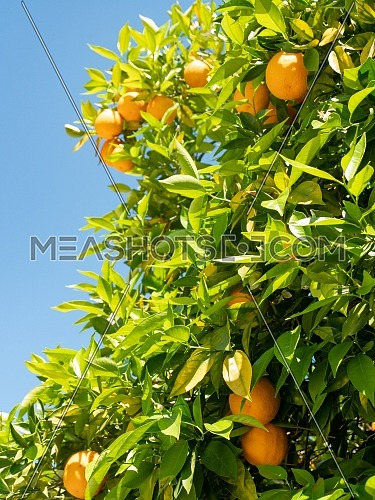 Close up of orange trees in the garden, selective focus