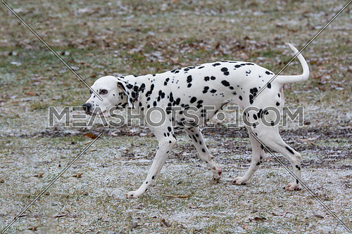 Adorable black Dalmatian dog outdoors in winter