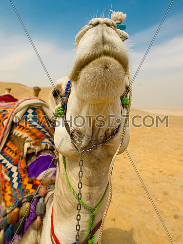 camel in desert with giza pyramids in background