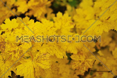 autumn season orange leafs background in nature