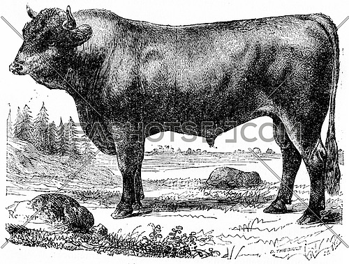 Taurus, vintage engraved illustration. Natural History of Animals, 1880.