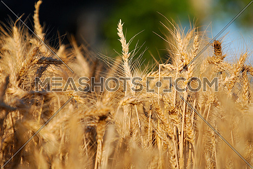 wheat and blue sky   (NIKON D80; 6.7.2007; 1/200 at f/6.3; ISO 100; white balance: Auto; focal length: 230 mm)