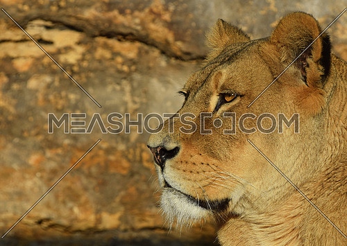 Close up profile portrait of female African lioness looking away at sunset, low angle, side view