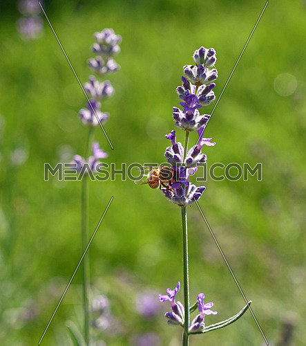 Close up honeybee on blooming purple lavender flowers in green grass, low angle side view