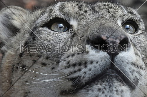 Extreme close up portrait of male snow leopard (or ounce, Panthera uncia) looking above camera, low angle view