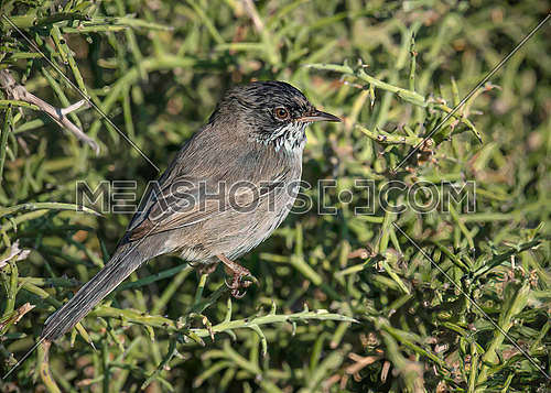 Sylvia melanothorax (Cyprus warbler) perched on grass stem and looking to side