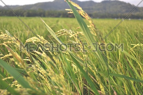 Ripe Rice Grain With Green Leaves In The Ricefield With Sun Light
