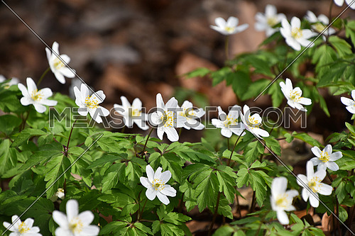 Close up early spring white Caltha flowers over green leaves, low angle view