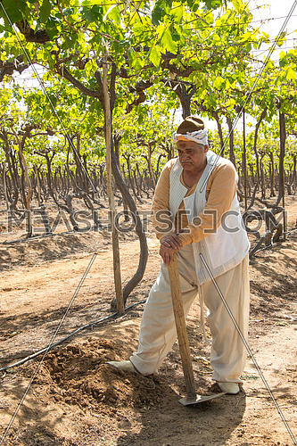 an egyptian farmer holding his axe and working in the field