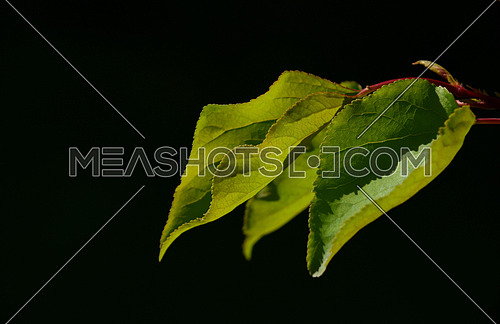 Group of three apricot tree leaves in back lighting on a black background